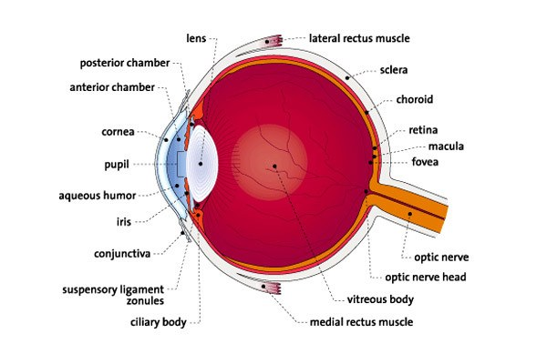 Eye Anatomy- Eye Anatomy Picture